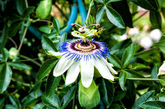 Passiflora flower fence and garden decoration Royalty Free Stock Images