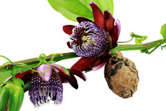 Passiflora. Flower and fruit. Royalty Free Stock Images