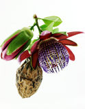 Passiflora. Flower and fruit. stock images