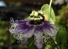 Purple Passiflora Flower stock photography