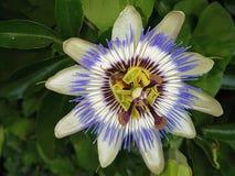 Passiflora flower in green white blue colors in a garden in Nieuwerkerk aan den IJssel.. Passiflora flower in green white blue colors in a garden in Nieuwerkerk royalty free stock photo