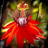 Passiflora flower `Peter Lawrence` flower. Photographed in Butterfly world, Coconut Creek Florida. The vibrant red petals are very inviting stock image