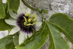 Passiflora flower. Sunlight, flowers, a beautiful structure going inside the sea. A wonderful view of a summer day. South american flower macro shoot. Beautiful Stock Image