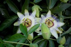 Passiflora flowers Stock Images