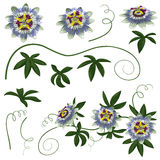 Passiflora Flowers and Leaves Set Royalty Free Stock Photo