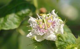 Passiflora foetida blossuim Stock Image
