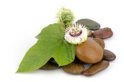 Passiflora foetida, Fetid passionflower, Scarlet fruit passionflower, Stinking passionflower. Stock Image