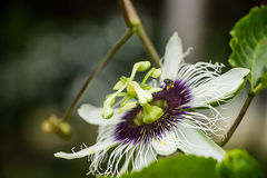 Passiflora foetida flower. royalty free stock photography