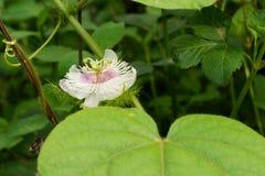 Passiflora foetida flower in bloom on green leaves background. Rural flowers bloom on the field stock photo