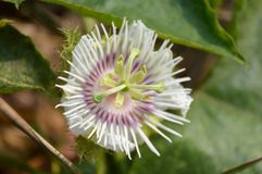 Passiflora foetida flower Royalty Free Stock Image