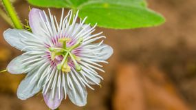 Passiflora foetida flower royalty free stock images