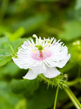Passiflora foetida flower. In Thailand royalty free stock images