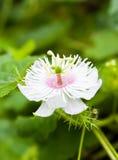 Passiflora foetida flower Royalty Free Stock Images