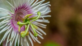 Passiflora foetida flower stock images