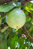 Passiflora foetida fruit. Hanging on vine stock images