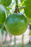 Passiflora foetida fruit. Hanging on vine stock image
