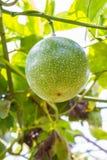 Passiflora foetida fruit Stock Photos