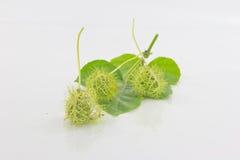 Passiflora foetida Stock Images
