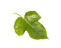 Passiflora foetida leaf isolated. On white stock image