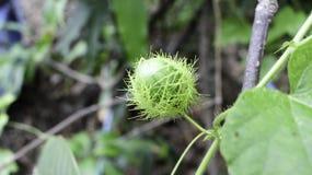 Passiflora foetida Linn Στοκ φωτογραφίες με δικαίωμα ελεύθερης χρήσης