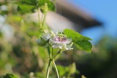 Passiflora foetida Linn resemble flower love in the mist flower of world Stock Photos