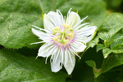 Passiflora foetida. In rain forest stock image