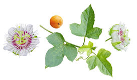Passiflora foetida Set Royalty Free Stock Image