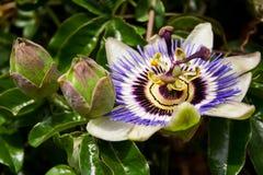 Passiflora i olika etapper fotografering för bildbyråer
