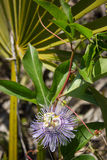 Passiflora incarnata και Serenoa repens Στοκ φωτογραφία με δικαίωμα ελεύθερης χρήσης