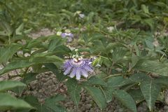 Passiflora incarnata cultivation royalty free stock photography