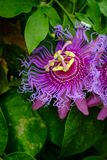 Passiflora Incarnata Purple Passionflower. In backyard garden with selective focus stock photography