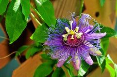 Passiflora kallad 'inspiration', Florida Arkivfoton