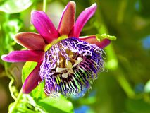 Passiflora kallad 'kunglig person', Arkivfoto