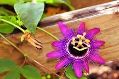 Passiflora kallade 'Monika Fisher', Royaltyfria Bilder