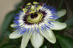 Passiflora, known also as the passion flower. They are mostly vines, with some being shrubs, and a few species being herbaceous. For information about the fruit royalty free stock image