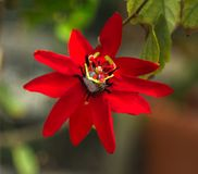 Red Passion flower. Passiflora, known also as the passion flowers or passion vines, is a genus of about 550 species of flowering plants, the type genus of the royalty free stock photography