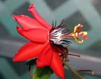 Passiflora kwiat obrazy royalty free