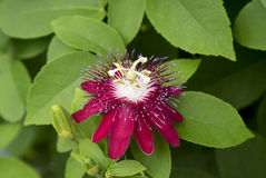 Passiflora (Lady Margaret). The deep hues of the Passiflora (Lady Margaret) shine against the green leaves stock image