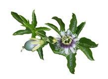 Passiflora Laurifolia Stock Photography