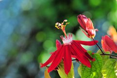 Passiflora Stock Photography
