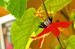 Passiflora miniata, Florida Royalty Free Stock Image