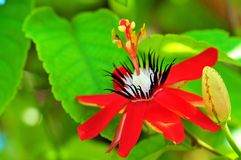 Passiflora miniata Stock Photography