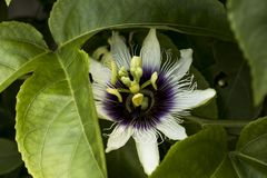 Passiflora on nature. Sunlight, flowers, a beautiful structure going inside the sea. A wonderful view of a summer day. South american flower macro shoot Royalty Free Stock Photography