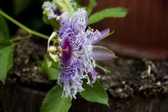 Passiflora. Beautiful purple flower of Passiflora in the garden. Selective focus stock photos