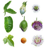Passiflora Passion Collection. Collection of passiflora passion: Foetida, Edulis, Laurifolia flower, fruit, leaf, isolated on white royalty free stock image