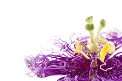 Passiflora or passion flower Stock Images