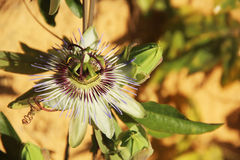 Passiflora Royalty Free Stock Image