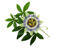 Passiflora or Passion Flower. Homeopathic plant Royalty Free Stock Photos