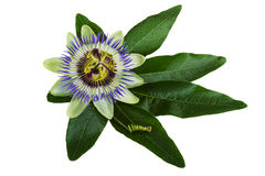 Passiflora or Passion Flower Isolated on White royalty free stock image