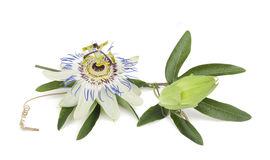 Passiflora. Passion flower with leaves isolated on white stock photo